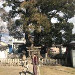 渋川神社 くすのき